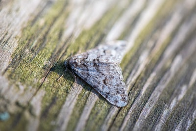 How to spot the shane Persian carpet moth in your garden